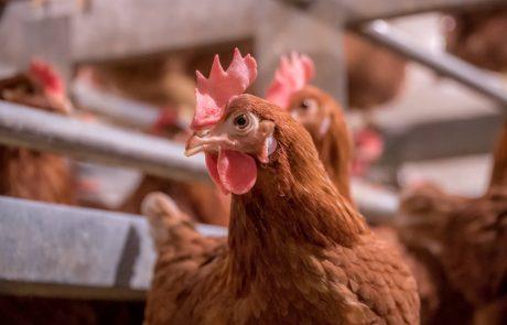 Morning Fresh Farms Chicken